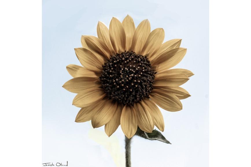 sunflower-blog